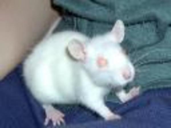Kispatkány