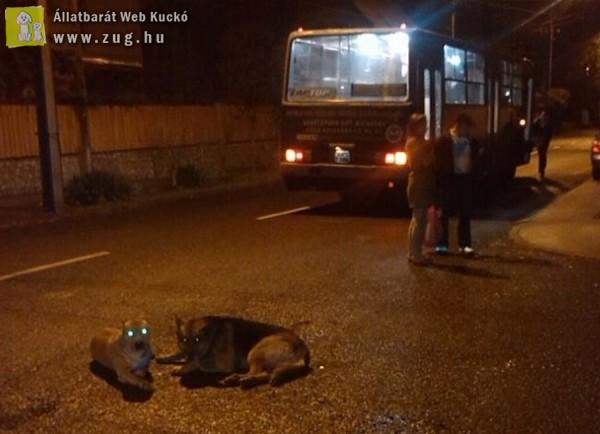 Az elütött németjuhászt védi a pitbull