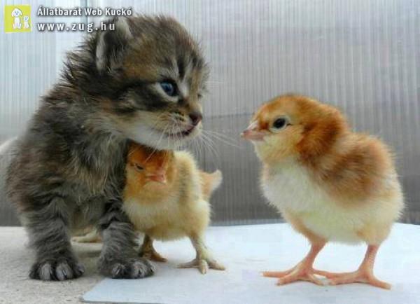 Cuki cica és a kiscsibék