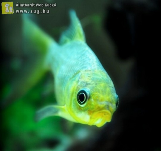 Díszhal az akváriumba