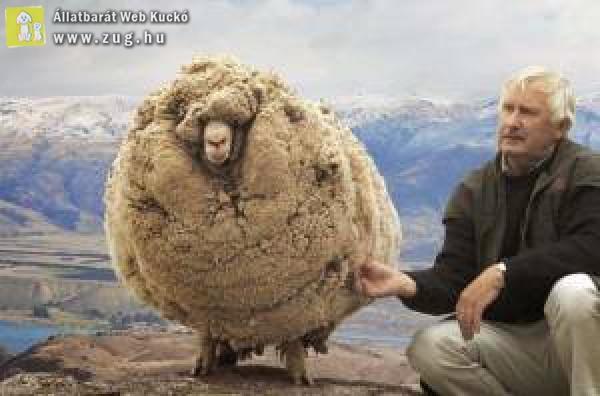 Dús szőrű bárány