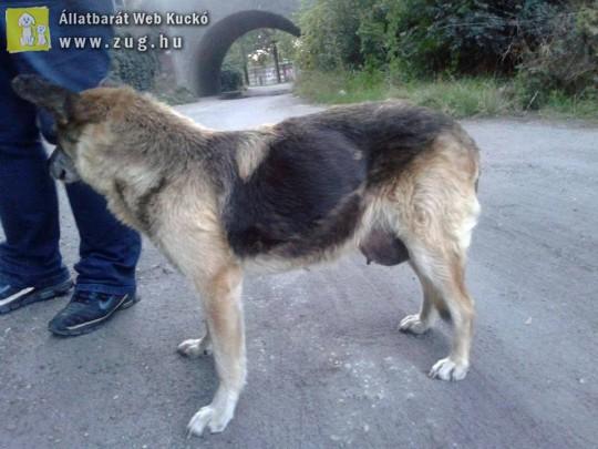 Emlődaganat - kutyabetegség