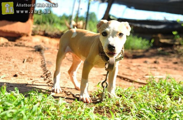 Felháborító a láncon való kutyatartás