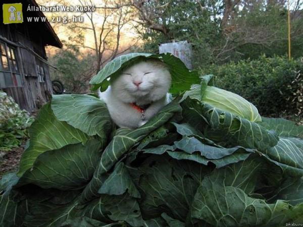 Hétvégére egy édes-káposztás macska :)