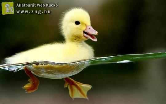 Kis kacsa fürdik :)