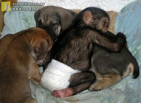 Kutya fogadta örökbe a csimpánzt