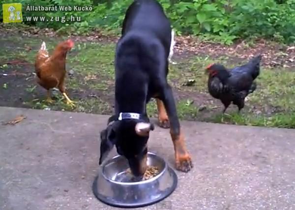 Kutyázó csirke
