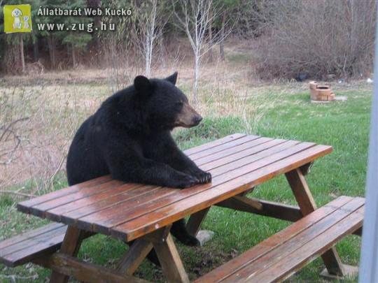 Medveváró
