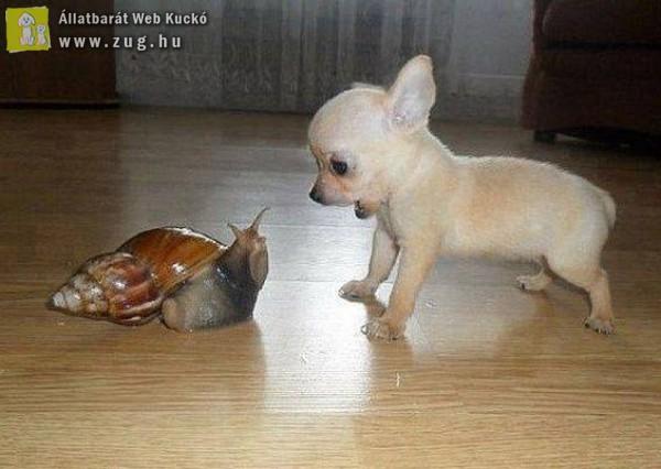 Minipincser találkozása az afrikai óriáscsigával
