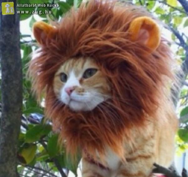 Oroszlán cica