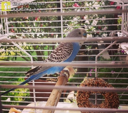 Papagáj kalitka