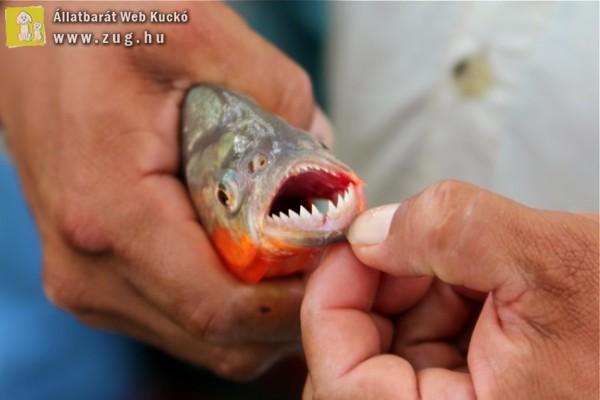Piranha - az embert sem kíméli