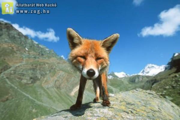Vörös róka dombon fülel