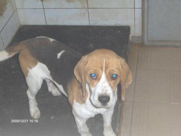 beagle pécs