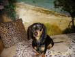 Picur kutyám édes kicsike