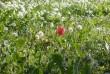 egy tulipán a fûrengetegben