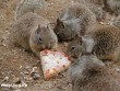 Pizzázó mókusok