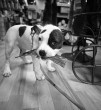 Kedvencem a staffordshire terrier