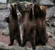 Németország: Három kamcsatkai barnamedve a hamburgi Hagenbeck állatkertben