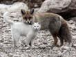 Cicus és róka barátsága
