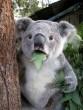 Elbambult a koala