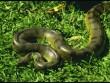 Kígyó a fűben