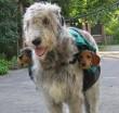 Kutyaszállítás