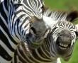 Vidám zebrák