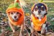 Halloween kutyaruha