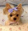 Kölyök yorkshire terrier