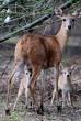 Mama és a kis Bambi őzgidák