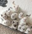 Fehér kiscicák