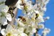 Virágzás, méhecske, beporzás