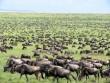 Kenyai nagy - nyári állatvéndorlás