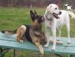 Tavasz = párzási időszak, kóbor kutya termelés!