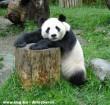 Óriás panda