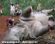 Testrészeiért megölt elefánt - szörnyû!