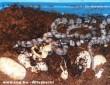 Frissen kelt korallkobrák