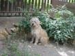 Benji a Szegeden örökbefogadott kutyus :)