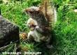 Hangszeren játszó mókus