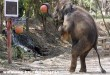 Kosarazó elefánt