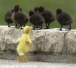Külföldi kacsák