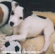 Jack Russel Terrier picúr