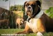 Coxer kutya