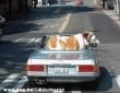 Nagy kutyus a kocsiban