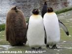 Fekete pingvin