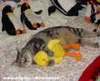 A cica és a háziállata
