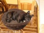 Szieszta bulldog módra