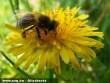Méhdolgozó virágport gyûjt