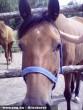 Csalogány (ló) a Rózsa tanyáról (õcsényi lovarda)